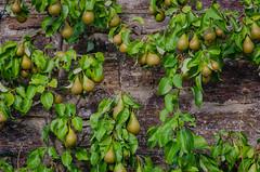 Pears in the Sofiero castle garden (frankmh) Tags: fruit pear sofiero sofierocastlegarden wall helsingborg skåne sweden garden