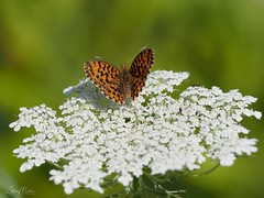 Magerrasen Perlmutterfalter (Boloria dia) (Lothar Malm) Tags: schmetterlinge schmetterling butterfly groserperlmuttfalter magerrasenperlmutterfalter boloriadia