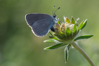 Small Blue laying an egg