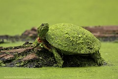 green painted turtle (don.white55 That's wild...) Tags: paintedturtlechrysemyspicta donpwhitephotography canoneos70d tamronsp150600mmf563divcusda011 lens tamron150600mm animal reptile turtle deadwood log duckweed posed nature pennsylvaniawildlife harrisburgpennsylvania dauphincounty swamp green marsh pond