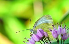 DSC01520 (Argstatter) Tags: kohlweisling schmetterling falter tagfalter pastelltöne bokeh butterfly insekt makro