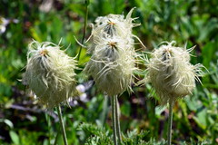 Western Pasqueflower (jimculp@live.com / ProRallyPix) Tags: mountrainiernationalpark washington nps mountain