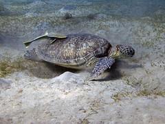 P1-008820 (charlesvanlangeveld) Tags: indopacific greenturtle marsaalam redsea egypt sea underwater scuba diving snorkling turtle soepschilpad schilpad zeeschilpad