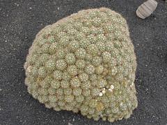 Mammillaria sp. (alloe.) Tags: mammillaria