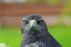 Grey Buzzard Eagle 1 (Mike House Photography) Tags: bird prey falcon eagle hawk talons beak wings flying flight fly yellow green brown white eyes sharp meat eater tail tips conservation wildlife animal photography
