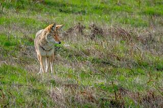 Coyote #116