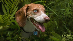 Picture of the Day (Keshet Kennels & Rescue) Tags: rescue kennel kennels adoption dog ottawa ontario canada keshet large breed dogs animal animals pet pets field tree forest nature photography beagle green lush hide peek blue eyes eye ferns fern bushes woods head