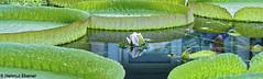 BS, Victoria Cruziana (bleibend) Tags: 2018 em5 leicadgsummilux25mmf14 omd blumen botanischergarten braunschweig bs flower flowers m43 mft natur nature niedersachsen olympus olympusem5 olympusomd riesenseerose seerose victoriacruziana