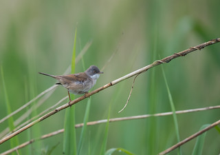 Common Whitethroat  26-05-2018-7440