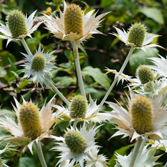 Flowers in a Shakespeare garden (Dave_A_2007) Tags: eryngium flower nature plant seaholly stratforduponavon warwickshire england