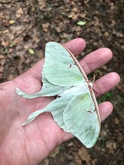 moth (Just Back) Tags: polilla moth bug insect green lepidoptera butterfly wings scales spots art love biology science congaree sc carolina nature thorax head scienceisreal