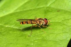 Episyrphus balteatus (Marmalade Hoverfly) - Guernsey (Nick Dean1) Tags: animalia arthropoda arthropod hexapoda hexapod insect insecta diptera syrphidae syrphinae syrphini guernsey channelislands greatbritain