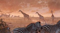 Giraffes (sam-white) Tags: botswana giraffe canon eos 40d zebra africa wildlife travel