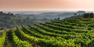 Vineyard outside San Gimignano
