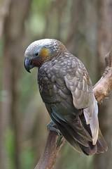 Kaka - Nestor meridionalis (Steve Attwood) Tags: auldwoodphotography steveattwood newzealand bird nature wildlife orokunuiecosanctuary kaka parrot nestormeridionalis