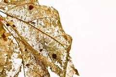 "Miss Havisham - Macro Monday - ""Decay"" (not beck) Tags: macromonday macro monday decay rot age leaf maple lace dead"