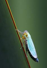 Green Leaf-hopper (PJ Swan) Tags: cicadella viridis green leafhopper durham botanic gardens insect macro minibeast