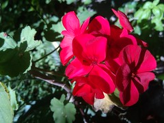 Bright Flowers (remafox660) Tags: flower flowers bright colorful deepcolor deepcolors pink beauty pelargonium deeppink brightpink brightcolor brightcolors blossoming geranium