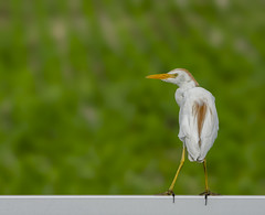 On The Fence With Egret (AnthonyVanSchoor) Tags: anthonyvanschoor maryland usa queen anne county marylandbiodiversityproject marylandbirding md easternshoremaryland cattle egret nikond7100 tamron150600mmtelephotolens birding bird