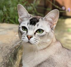 Eevee (pouncealot) Tags: cat catportrait showcat canon50d pet petportrait aww