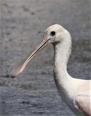 Roseate Spoonbill (Platalea ajaja) 06-17-2018 North Beach, Calvert Co. MD 7 (Birder20714) Tags: birds maryland spoonbills threskiornithidae platalea ajaja mbpready