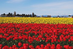 Tulip Town (staticandspark) Tags: tulips flowers nature roozengaarde mountvernon washington skagitvalley skagit landscape pacificnorthwest pnw colors brightcolors