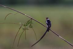 20180804-0I7A5357 (siddharthx) Tags: 7dmkii birdinginthewild canon canon7dmkii cottoncarrierg3 ef100400f4556isii ef100400mmf4556lisiiusm july2018 kesslerkwik matingritual migratorybirds pasirrisparkway3 promediagearkatanajr promediageartr424lpmgprostix sg singapore pintailedwhydah whydah