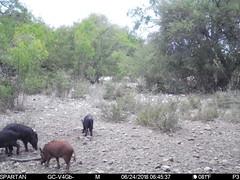 2018-06-24 06:45:37 - Crystal Creek 1 (Crystal Creek Bowhunting) Tags: crystal creek bowhunting trail cam