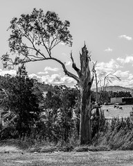Old Gum Tree and Rural Scene in Black and White (Merrillie) Tags: landscape gumtree australia birds rural cockatoos newsouthwales trees galahs country scenery tree cows acreage gresford farm monochrome blackandwhite property countryside