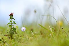 591.365-226 Downland Flowers (ianbartlett) Tags: outdoor macro landscape wildlife nature birds butterflies dragonflies cattle flight flowers colour light shadows clouds