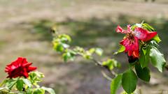 16082018-DSC_5564_33903.jpg (Patrice Dx) Tags: coloma jardindesroses roses colomakasteel jardin roseraie