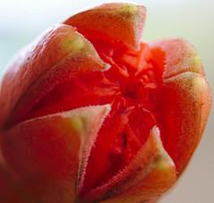 Abertura da flor da Romã (Jonas Pastoreli) Tags: flor jonaspastorelibatista rebel t7i 800d cropped canonefs1855mm3556isstm laranja extensiontube12mm