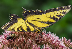 Dinner for Two (Shannonsong) Tags: butterfly tigerswallowtail pterourusglaucus lepidoptera nature insect mariposa wildlife wv yellow wildflower joepyeweed bumblebee hymenoptera bee