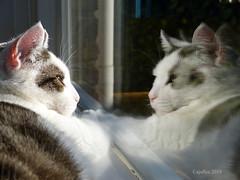Double pretty. (Cajaflez) Tags: pretty kat katze chat gatto window raam spiegeling reflection windowsill vensterbank jasmijn
