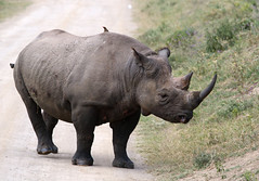Black Rhino (hbp_pix) Tags: hbppix harry powers samburu park kenya elephant giraffe zebra