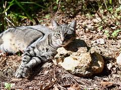 Camille and the rock pillow (rootcrop54) Tags: camille female tabby mackerel rock stone pillow lounging neko macska kedi 猫 kočka kissa γάτα köttur kucing gatto 고양이 kaķis katė katt katze katzen kot кошка mačka gatos maček kitteh chat ネコ