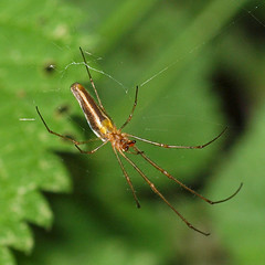 2018_06_0233sq (petermit2) Tags: longjawedorbweaverspider orbweaverspider spider orbweaver tetragnatha pottericcarr potteric doncaster southyorkshire yorkshire yorkshirewildlifetrust wildlifetrust ywt