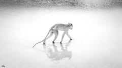 MONKEY (Greg Tokyo) Tags: 2018 monkey monochrome monotone thailand huahin hua hin khao takiab 6d beach primate shadow