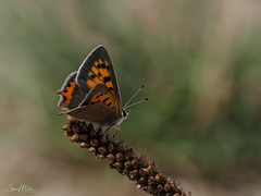 Kleiner Feuerfalter (Lycaena phlaeas) (Lothar Malm) Tags: schmetterlinge schmetterling kleinerfeuerfalter butterfly