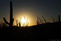 Gates Pass Road - Saguaro West (CHWVB) Tags: saguaro wüste tucson kaktus sonora desert usa arizona cactus