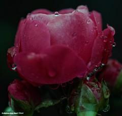 I am happy like her (u,b500) Tags: 7rii alpha7rii a7rii sony f28 100mm samyang macro ماكرو قطرات ورد syphilis drops dew rose dewdrops