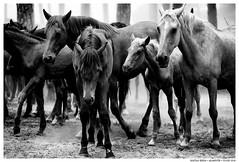 .. (Matías Brëa) Tags: caballos horses animal blancoynegro blackandwhite byn bw bnw