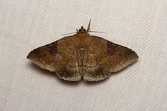 Erebidae, Erebinae, Ericeia sp. - Kibale, Uganda (Nick Dean1) Tags: animalia arthropoda arthropod hexapoda hexapod insect insecta lepidoptera moth kibale kibalenationalpark uganda