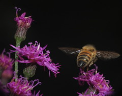 Honey Bee In Flight & Tall Ironweed Flowers DSCF9354 (Ted_Roger_Karson) Tags: fujifilmxs1 handheldcamera northernillinois raynoxdcr150 honeybee honeybeeflying bee sloitary fujifilm xs1 raynox dcr150 macro honey flying flowers super hand held camera northern illinois bumble flower thisisexcellent lens flowerhead yard friends twop bug hd fuji eyes m150 macroscopic pollen animal outdoor insect pollinator plant depth field backyard animals garden butterfly bees