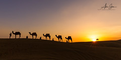 The Caravan (Thar Desert, India 2015) (Alex Stoen) Tags: alone amazing asia bestdestination breathtaking camels colorful colorsofindia desert horizontal india oddnumber profile rajasthan ridge samsanddunes sand silhouettes sky solitude sunflare sunstar sunset thardesert transport travel vacation animals boundless caravan copyspace dunes moment specialmoments timeless transition wide