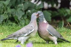 Kiss? (bloedmann999) Tags: taube woodpidgeon