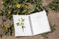 Where Ever You Go There Will Be Love & Yellow Wildflowers Pt. II (Miss Marisa Renee) Tags: marisarenee summer summer2018 2018 june june2018 floral wildflowers flowers aurora colorado canon canon5dmarkii dirt nature sketchbook pressed pressedflower tape sketch mywork stilllife green leaves pencil pencilsketch art horseshoepark park naturalarea series twoparts diptych