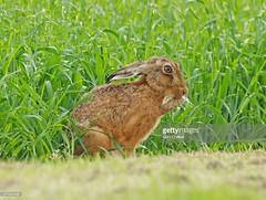 Hare (Gary Chalker, Thanks for over 3,000,000. views) Tags: hare brownhare mammal pentax pentaxk3ii k3ii pentaxfa600mmf4edif fa600mmf4edif fa600mm 600mm