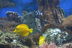 London, England, UK - The Regent's Park - London Zoo - Aquarium - Coral Reef - Yellow Tang (jrozwado) Tags: europe uk unitedkingdom england london regentspark theregentspark zoo aquarium fish tang reef