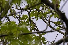 20180609-0I7A7038 (siddharthx) Tags: 7dmkii ananthagiri ananthagiriforest ananthagiriforestrange bird birding birdsinthewildbirdsofindiabirdsoftelanganacanoncanon7dmkiicottoncarrierg3ef100400f4556isiief100400mmf4556lisiiusmforestgoldenhourjunglelandscapemonsoonnaturerainrainstelanganatreetreesvikarabadwetwildw ghattepalle goldenhour goldenhourbirdwatching in india kotapalle kotapalli kotapallycheckdam kotapallyreservoir kotepally kotepallyreservoir kotpallysmalldam wet wild wildbirds wildlife longtailedshrike shrike baybackedshrike rufousbackedshrike birdsinthewildbirdsofindiabirdsoftelanganacanoncanon7dm burgupalle telangana